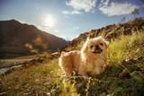 Funny animal dog pekingese mountains