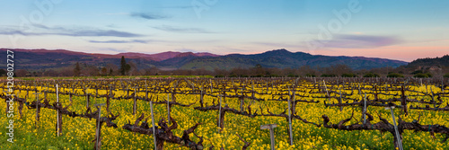 Staande foto Wijngaard Napa Valley wine country panorama at sunset in winter. Napa California vineyard with mustard and bare vines. Purple mountains at dusk with wispy clouds.