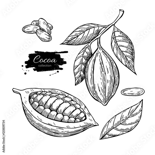 Cocoa vector superfood drawing set. Isolated hand drawn illustr