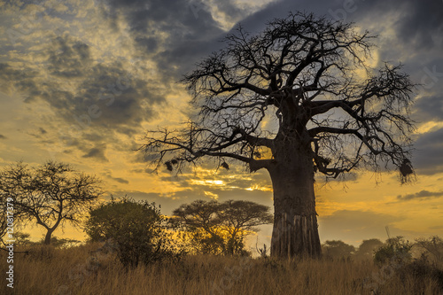 Foto op Plexiglas Baobab Baobab Tree at Sunset, Tanzania