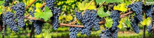Weintrauben Panorama Hintergrund Poster