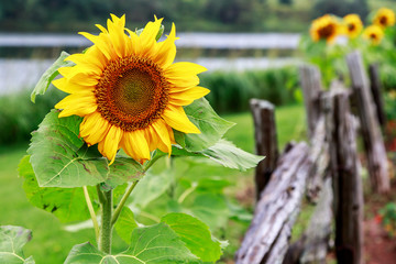 Sunflower alongside a rustic wooden pole fence.