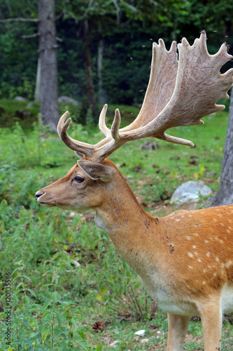 Poster Fallow deer during the rutting season