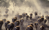 Cattle in drought conditions.