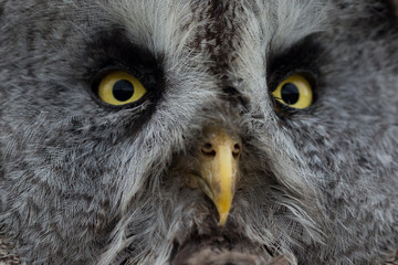Close up of Great Grey owls eyes and beak.