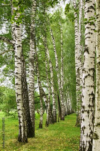 Birch alley in summer