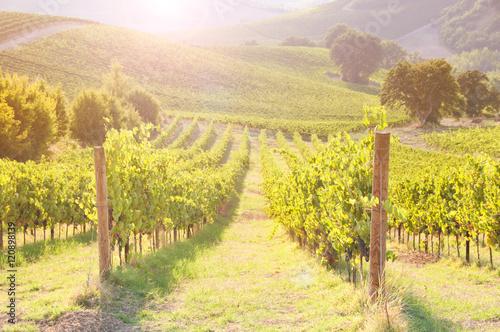 Poster Oceanië Vineyard among Hills on sunset