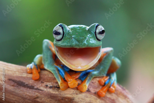 Laugh Frog - 120932557