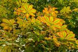 Засыхающая листва на конском каштане