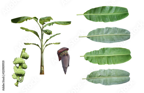 Poster Set of banana tree isolated on white background.