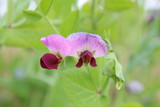 purple pea plant blooming