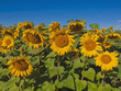 Sunflowers on blue sky background.