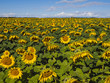 A huge field of sunflowers