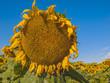 Large matured sunflower. Winnipeg. Canada.