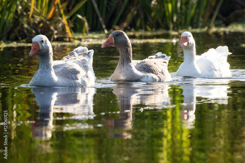 Fotobehang Domestic geese swimming in the lake under a warm light of autumn