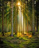 Sunrays w lesie iglastym w porannej mgle