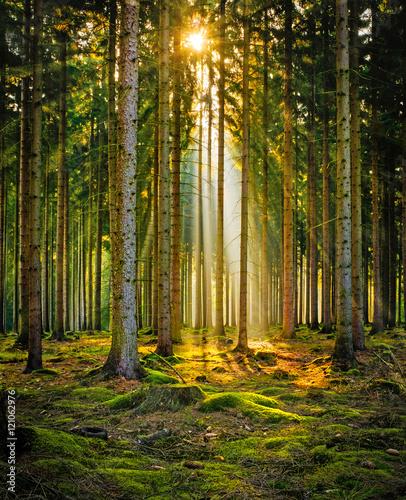sunbeams-w-lesie-iglastym-w-porannej-mgle
