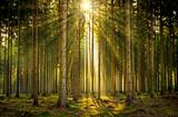 Sunbeams w świetle zalany las we mgle na wschodzie słońca
