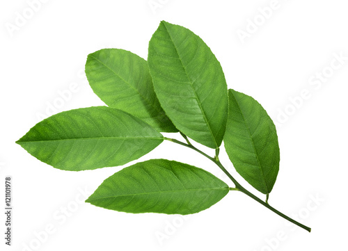 Lemon leaf isolated on white background - 121101978