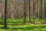 Vibrant spruce pine forest