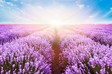 Blooming lavender field under the bright colors of the summer sunset