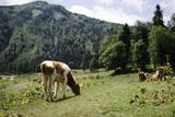 Абхазия, Рицинский заповедник, стоянка Альпийские луга. Огромное множество пастбищ, где пасутся стада.