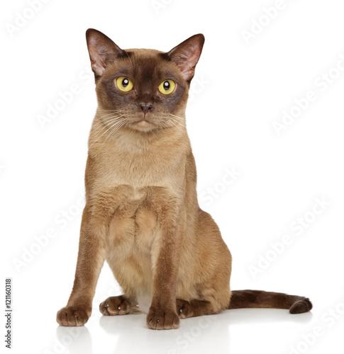 Poster Burmese burma cat