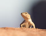 Desert Life, lizard - Utah, Arches National Park