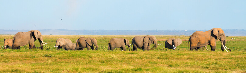 Panorama of elephants walking in the grass in Amboseli national © ivanmateev