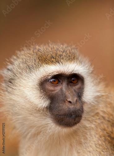 Plagát, Obraz Black face monkey (vervet monkey) in Amboseli, Kenya. Vertical s