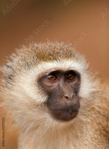 Poster, Tablou Black face monkey (vervet monkey) in Amboseli, Kenya. Vertical s