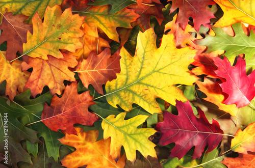 Fototapeta Artistic colorful oak autumn season leaves background.