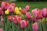 Розовые и желтые тюльпаны весной.
