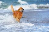 Young golden retriever on the beach