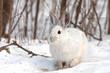 Snowshoe hare standing in a field in winter in Canada