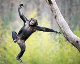 Chimp in Flight - 121245359