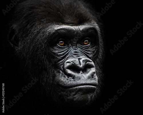 Western Lowland Gorilla IV - 121245768