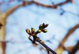 Spring tree bud