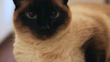 Dolly of a Siamese cat laying down.