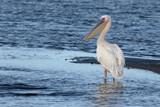 Eastern-white pelican, Pelecanus onocrotalus