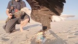 Eagle trainer and his bird hopping off training lure in the desert