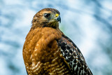 Red-Shouldered Hawk, Portrait, Close-Up