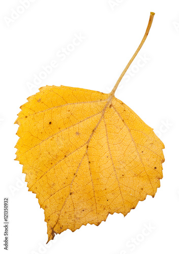 yellow autumn leaf of birch tree isolated - 121350932