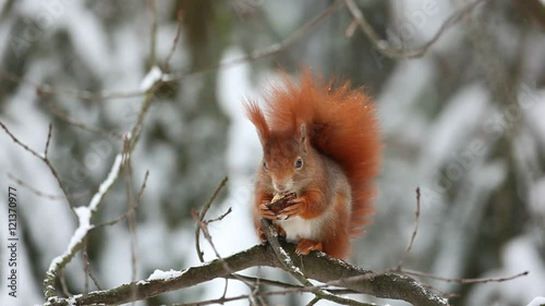 Tuinposter Eekhoorn Cute red squirrel eats a nut in winter scene with snow