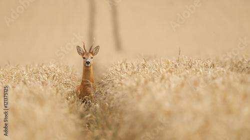 Fotobehang Ree Roe deer in a wheat field looking at the camera