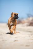 funny cane corso puppy on a beach