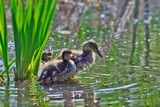 two Ducklings on a lake