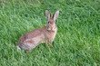 Eastern cottontail hare sitting on grass.