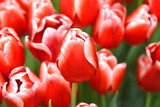 Colorful red tulip flowers on a sunny day.