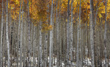 Tall Aspen trees in fall time